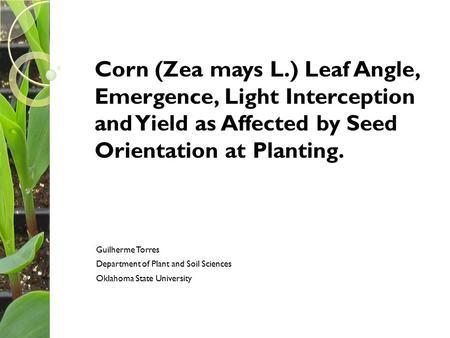 Corn (Zea mays L.) Leaf Angle, Emergence, Light Interception and Yield as Affected by Seed Orientation at Planting. Guilherme Torres Department of Plant.