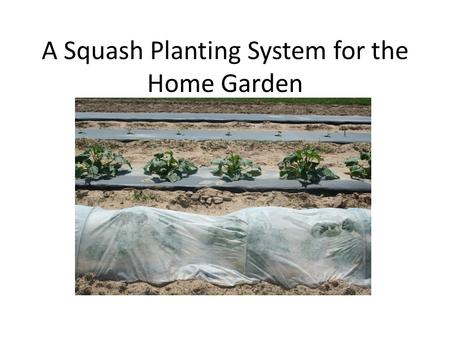 A Squash Planting System for the Home Garden. A 4 feet X 4 feet sheet of black plastic mulch. A 3 liter soft drink bottle to aid in irrigating below the.
