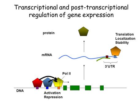 MRNA protein DNA Activation Repression Translation Localization Stability Pol II 3'UTR Transcriptional and post-transcriptional regulation of gene expression.