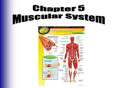 the muscular system and its functions 2018-7-12  the main components of the muscular system are cardiac muscle,  pushing food through the intestines and urine through the bladder are functions.