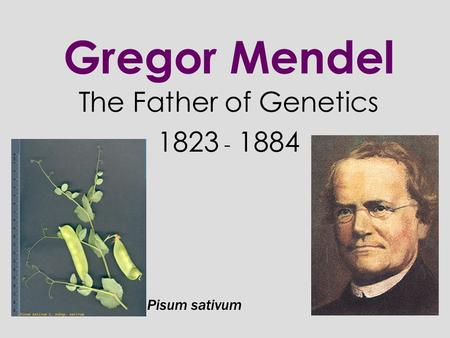 gregor mendel father of the discipline of genetics Father of genetics gregor mendel, through his work on pea plants, discovered the fundamental laws of inheritance he deduced that genes come in pairs and are inherited as distinct units, one from each parent.