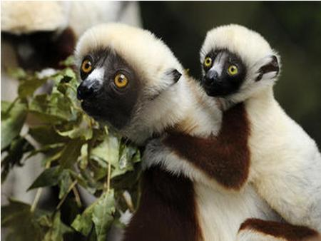 SIFAKAS A Sifakas' behavior The Sifakas' Family Family ranges from 3-10 members Females have dominance within the group Females have primary access to.