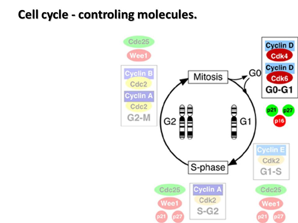 inhibition activation /p21 p53 or p16/