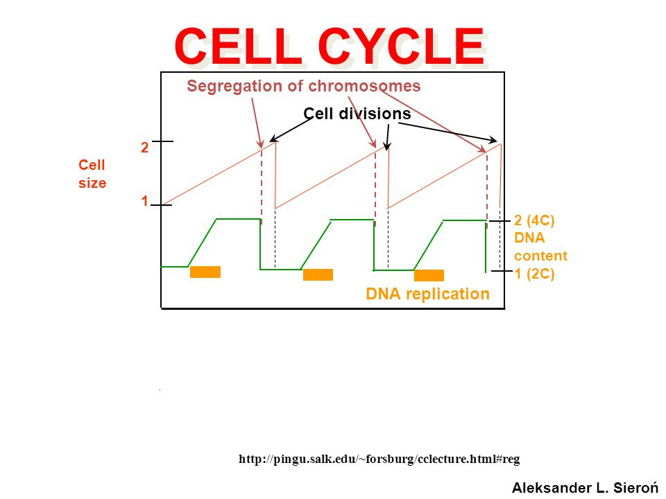 Cell cycle: