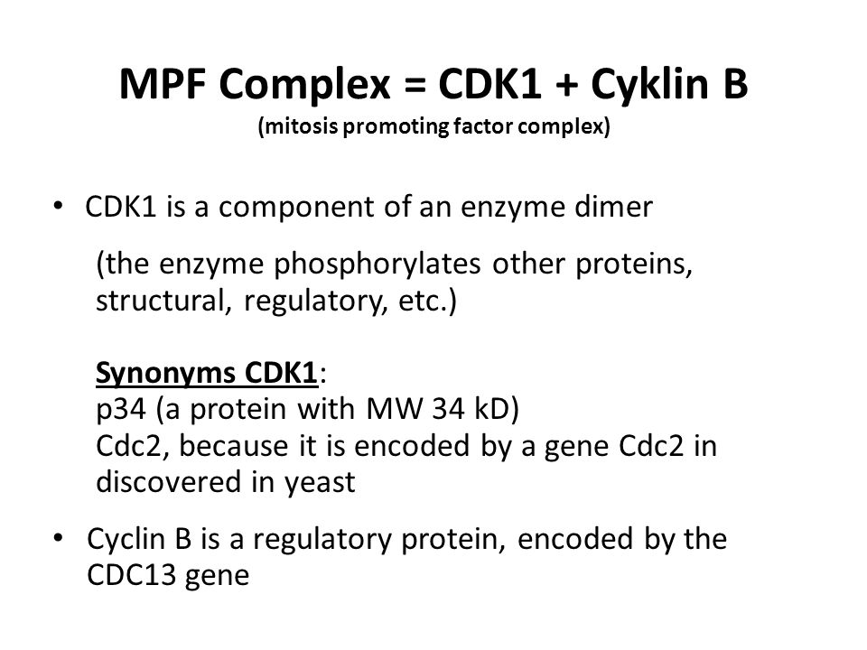 MPF is active in the G2/M transition Active MPF: CDK1 is dephosphorylated by the phosphatase Cdc25 at tyrosine 15 (Tyr15), and threonine 14 (Thr14) Active MPF phosphorylates structural proteins following: Histones - the effect is the condensation of chromosomes from prophase to metaphase Lamina of nuclear lamina - the result is fragmentation of nuclear envelope in prophase Proteins MAP - the result is the creation of the mitotic spindle Nucleolin - the effect of dispersion in prophase nucleolus MPF is inactivated at the Metaphase/Anaphase transition, following degradation of cyclin B in anaphase