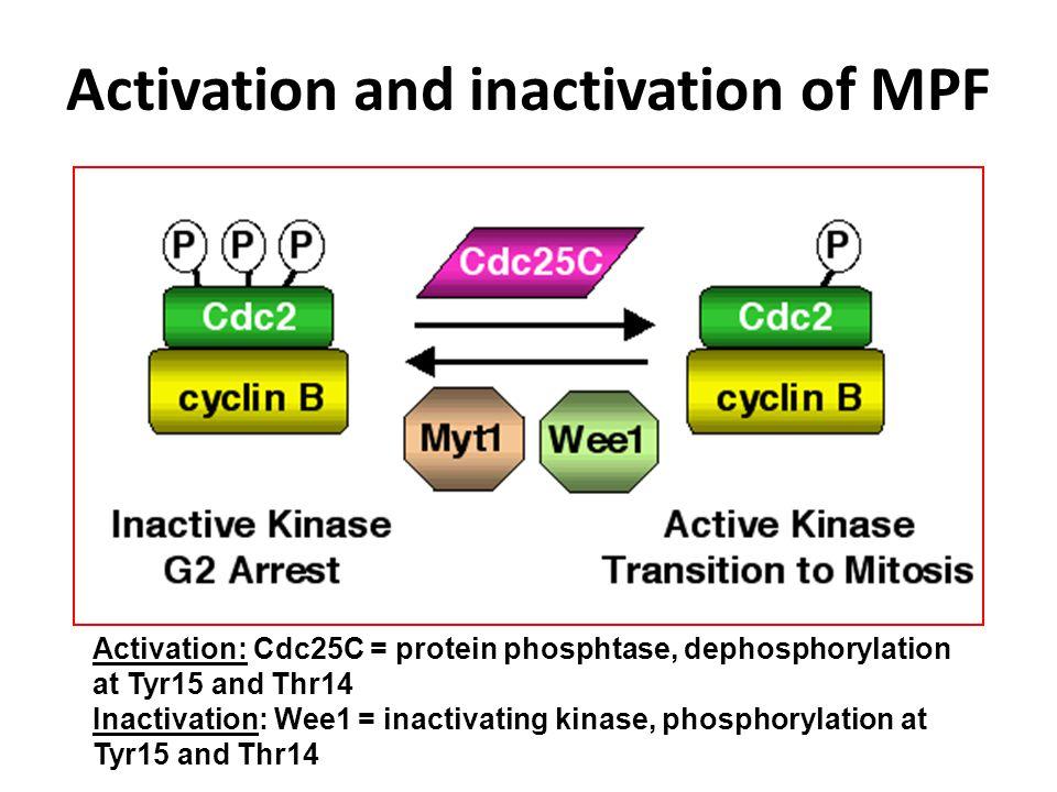 Cyklina B osiąga maksymalną aktywność na początku profazy.