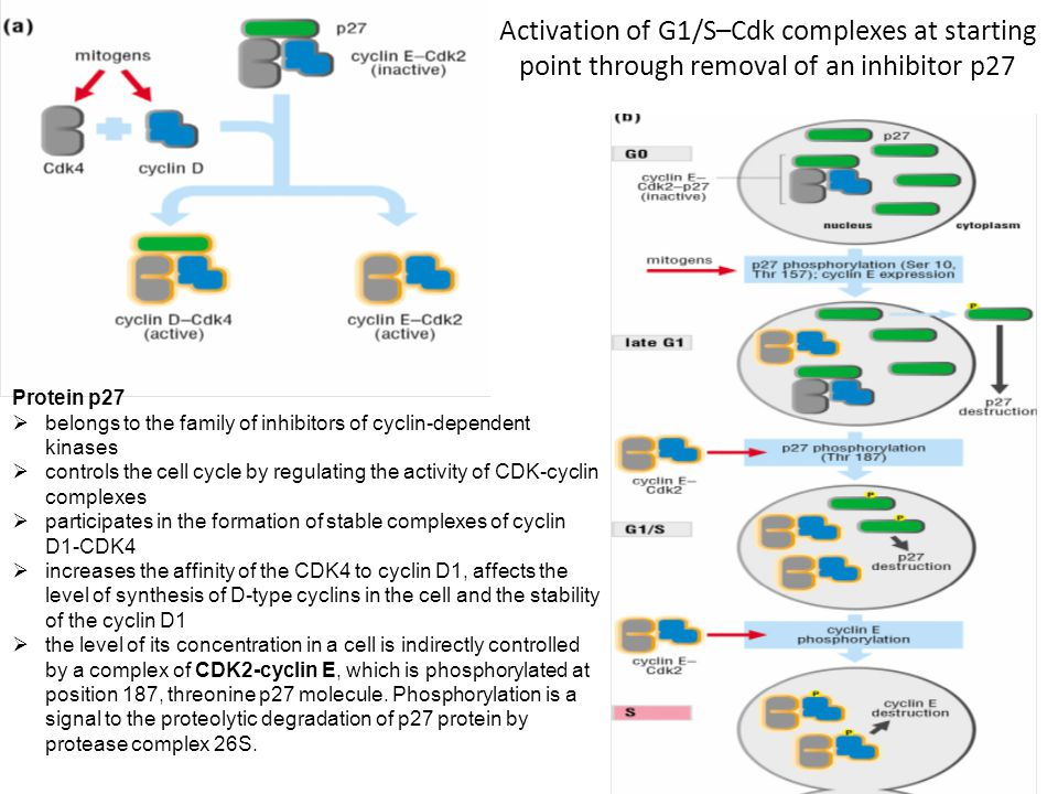 Protein p16 functions as a kinase inhibitor, which modulates CDK4/Cdk6 Rb protein phosphorylation, thus affecting cell proliferation Active Rb protein (in dephosphorylation) is maintained in an inactive state-specific protein that regulates the genes.