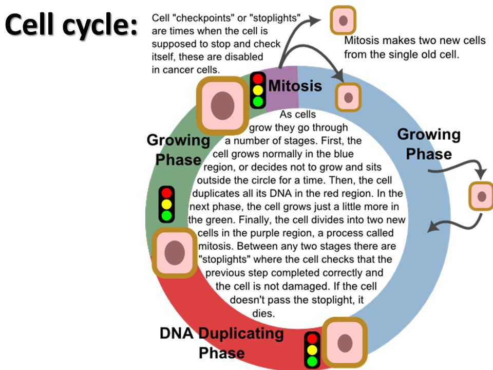 reproductive cycle of cells consisting of a sequential phases resulting in cell content doubling (growth, replication of DNA) its division into two new daughter cells reproductive cycle of cells consisting of a sequential phases resulting in cell content doubling (growth, replication of DNA) its division into two new daughter cells includes a set of biochemical and morphological changes, from the end of the previous cell division by the end of next one includes a set of biochemical and morphological changes, from the end of the previous cell division by the end of next one