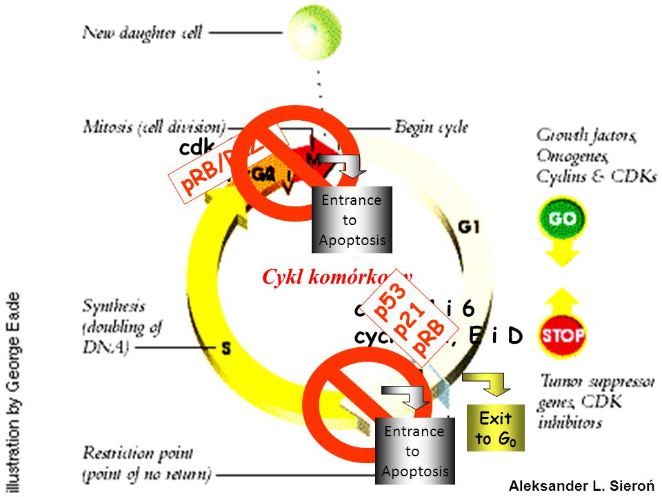 RB1 GENE IN CANCER CELL CYCLE