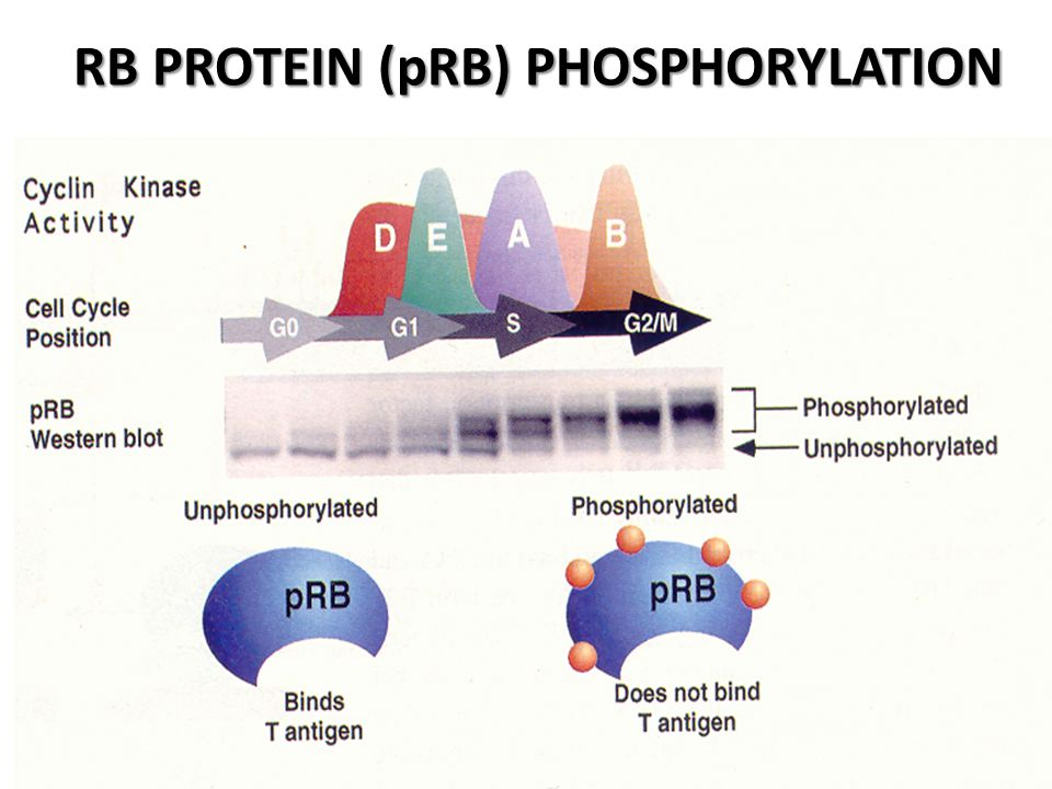 INTERACTION OF pRB AND TRANSCRIPTION REGULATORS Modified from