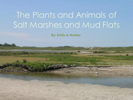 The Plants and Animals of Salt Marshes and Mud Flats By: Emily & Marley.