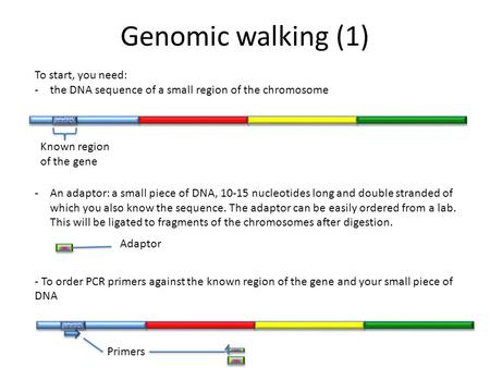 Genomic walking (1) To start, you need: -the DNA sequence of a small region of the chromosome -An adaptor: a small piece of DNA, 10-15 nucleotides long.