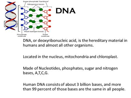 DNA DNA, or deoxyribonucleic acid, is the hereditary material in humans and almost all other organisms. Located in the nucleus, mitochondria and chloroplast.