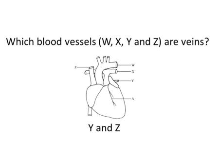 Which blood vessels (W, X, Y and Z) are veins? Y and Z.