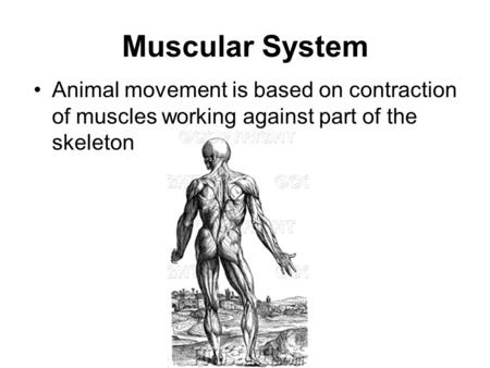 Muscular System Animal movement is based on contraction of muscles working against part of the skeleton.