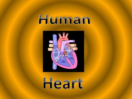 What is the HEART? Pear shaped structure About the size of a fist. The heart is a MUSCULAR ORGAN Found in all ANIMALS and HUMANS Pumps BLOOD throughout.
