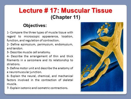 Lecture # 17: Muscular Tissue (Chapter 11) Objectives: 1- Compare the three types of muscle tissue with regard to microscopic appearance, location, function,
