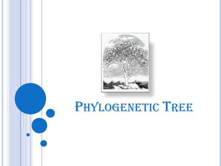P HYLOGENETIC T REE. OVERVIEW Phylogenetic Tree Phylogeny Applications Types of phylogenetic tree Terminology Data used to build a tree Building phylogenetic.