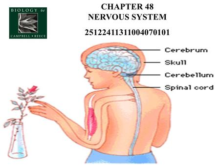 CHAPTER 48 NERVOUS SYSTEM 25122411311004070101. A Simple Nerve Circuit – the Reflex Arc - Sensory neuron - bings info from sense organs/receptors to spinal.