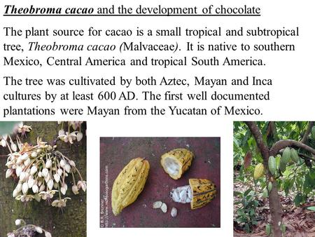 Theobroma cacao and the development of chocolate The plant source for cacao is a small tropical and subtropical tree, Theobroma cacao (Malvaceae). It is.