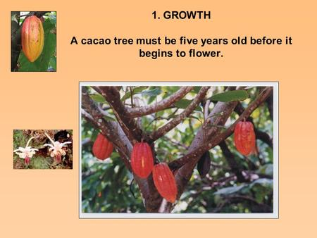 1. GROWTH A cacao tree must be five years old before it begins to flower.