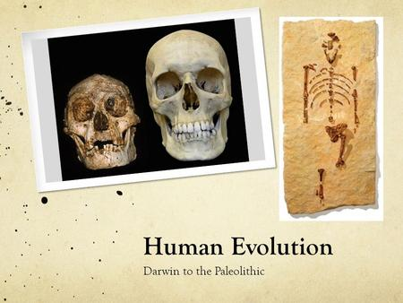 Human Evolution Darwin to the Paleolithic. Today's Objectives How do humans differ from early primates? Skeleton, organs, culture Why was Homo erectus.