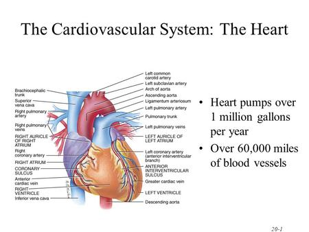 20-1 The Cardiovascular System: The Heart Heart pumps over 1 million gallons per year Over 60,000 miles of blood vessels.
