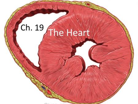 Ch. 19 The Heart. Heart Matters Overview of cardiovascular system – Know the difference between pulmonary and systemic circuits Heart gross anatomy and.