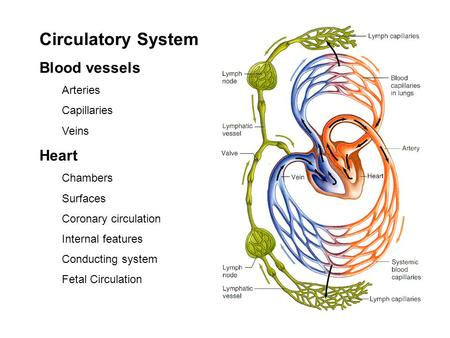 Circulatory System Blood vessels Arteries Capillaries Veins Heart Chambers Surfaces Coronary circulation Internal features Conducting system Fetal Circulation.