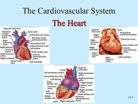 20-1 The Cardiovascular System The Heart. 20-2 Functions of the Heart Generating blood pressure Routing blood –Heart separates pulmonary and systemic.