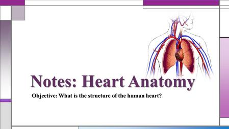 Notes: Heart Anatomy Objective: What is the structure of the human heart?