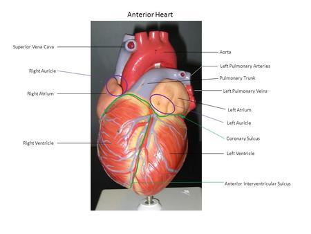 Anterior Heart Superior Vena Cava Aorta Left Pulmonary Arteries