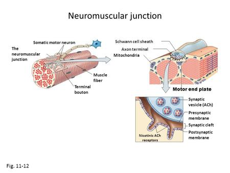 Neuromuscular junction Fig. 11-12 Somatic motor neuron Muscle fiber The neuromuscular junction Motor end plate Terminal bouton Mitochondria Synaptic vesicle.