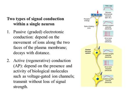 Two types of signal conduction within a single neuron 1.Passive (graded) electrotonic conduction: depend on the movement of ions along the two faces of.