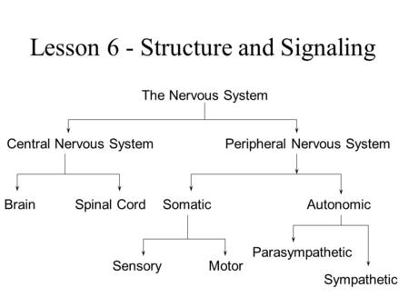 Lesson 6 - Structure and Signaling The Nervous System Central Nervous SystemPeripheral Nervous System BrainSpinal CordSomaticAutonomic SensoryMotor Parasympathetic.