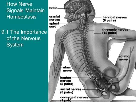 How Nerve Signals Maintain Homeostasis 9.1 The Importance of the Nervous System.