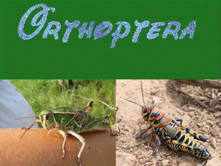 All Grasshoppers have three main body parts, the head, the thorax and the abdomen. Grasshoppers have six jointed legs, two pairs of wings and two antennae.