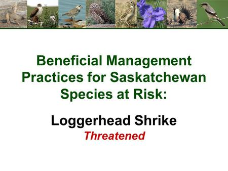 Beneficial Management Practices for Saskatchewan Species at Risk: Loggerhead Shrike Threatened.
