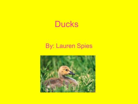 Ducks By: Lauren Spies. What are Ducks? Ducks are a type of bird. They have webbed feet to help them be good swimmers.