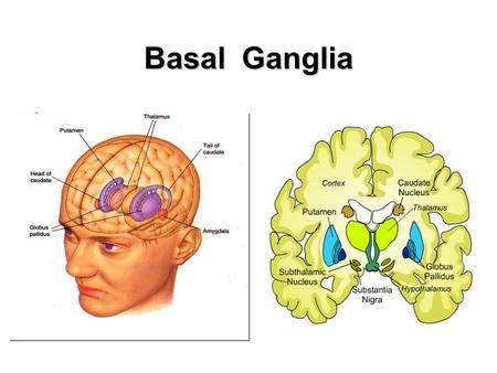 Basal Ganglia. Involved in the control of movement Dysfunction associated with Parkinson's and Huntington's disease Site of surgical procedures -- Deep.