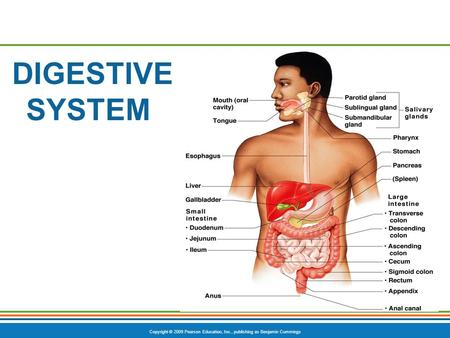 Copyright © 2009 Pearson Education, Inc., publishing as Benjamin Cummings DIGESTIVE SYSTEM.