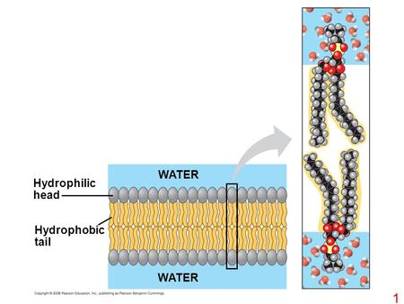 WATER Hydrophilic head Hydrophobic tail WATER.