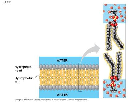LE 7-2 Hydrophilic head Hydrophobic tail WATER. LE 7-3 Hydrophilic region of protein Hydrophobic region of protein Phospholipid bilayer.