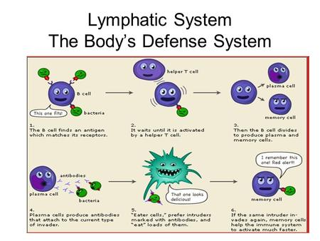 Lymphatic System The Body's Defense System. Nonspecific Defense First Line of Defense –Skin –Mucous Membrane –Secretions.
