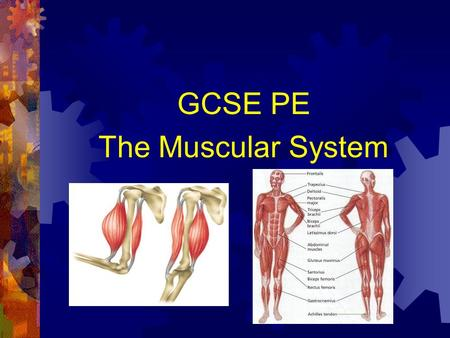 GCSE PE The Muscular System. Muscles and Movement. Aims: To know the different muscle types in our body. To understand the different types of muscular.
