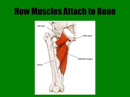 How Muscles Attach to Bone. Introduction Skeletal muscle attaches to bone one of two ways  Indirectly: the epimysium extends past the muscle as a tendon.