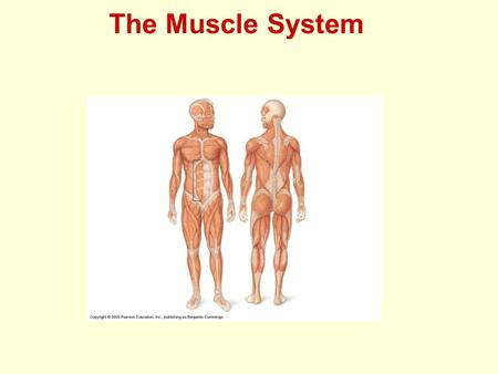The Muscle System. Muscles Found in every organ of body Three types Skeletal Cardiac Smooth.
