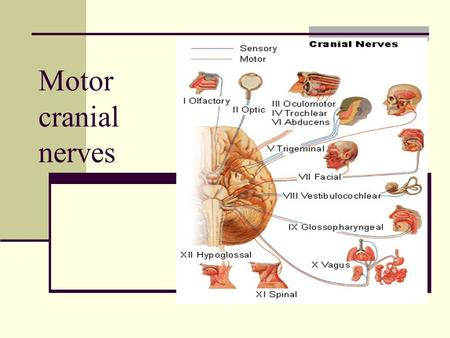 Motor cranial nerves. Cranial nerves are part of the peripheral nervous system. Carry sensory or motor information or a combination and function in parasympathetic.