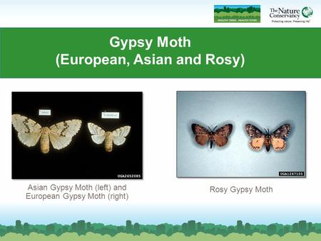 Gypsy Moth (European, Asian and Rosy) Asian Gypsy Moth (left) and European Gypsy Moth (right) Rosy Gypsy Moth.