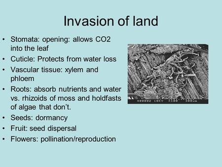 Invasion of land Stomata: opening: allows CO2 into the leaf Cuticle: Protects from water loss Vascular tissue: xylem and phloem Roots: absorb nutrients.